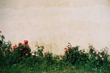 Roses against a wall in France