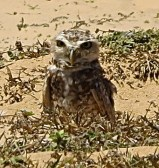 Little owl in the middle of a deserted area of the beach. Jericoacoara, Brazil.