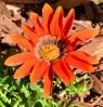 Orange daisy in my garden. LA, CA.