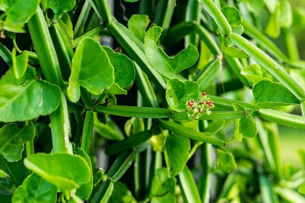 Bei Cissus Quadrangularis (CQ) handelt es ich um eine ganzjährige Pflanze aus der Familie der Weinrebengewächse (Vitaceae), die in vielen Ländern beheimatet ist, jedoch primär in tropischen Regionen vorkommt (darunter in Asien, West-Afrika, Arabien und Südamerika).