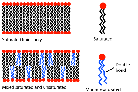 Du hast deine Zellgesundheit in der Hand: Das Fett, welches du über die Ernährung aufnimmst, beeinflusst die Viskosität der Zellmembran - und damit auch, was die Membran durchlässt (und was nicht). Aus diesem Grund sind essenzielle Fettsäuren (Omega 3 & 6) sowie Phospholipide sehr wichtig. Phosphatidylserin kommt verstärkt in den Membranen von Nervenzellen vor - und beeinflusst damit auch die Durchlässigkeit der Zellmembran. (Bildquelle: Wikimedia / MDoouhM)