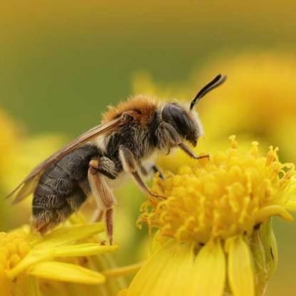 Bienenweide mehrjährig