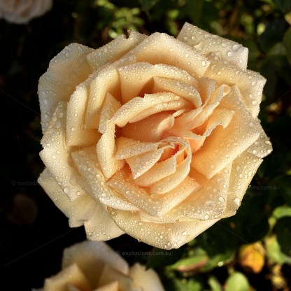 Valencia rose flower covered in rain drops. Photographed for Excitations oline shop, bare rooted roses for sale.