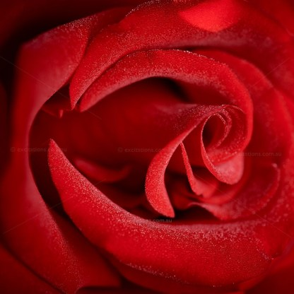 Closeuo of red Dallas Rose, photo supplied by Excitations photographers and online bare rooted roses, Mildura, Australia.