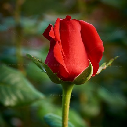 Single Dallas Rose iin bud. Online shopping for roses at Excitations Mildura.
