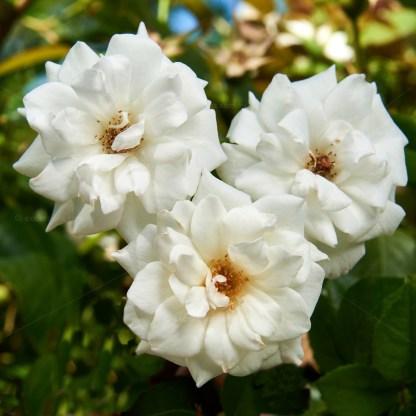 Fully open flowers on Iceberg Rose. VBare roote roses for sale Mildura.
