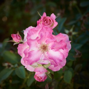 Cluster of pink roses, Seduction.