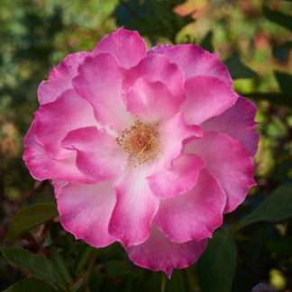 close-up floribunda rose Seduction, for Excitations online shop