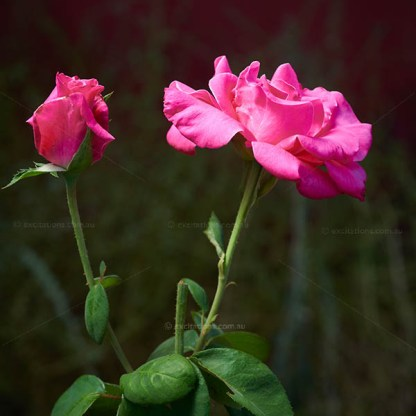 close-up of bud and open flower of bright pink rose, perfumed delight.
