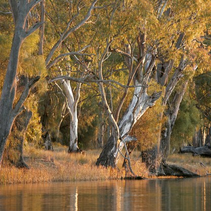 River Red Gum trees on banks of river.