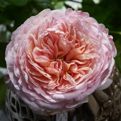 David Austin rose, Abraham Darby close-up. Excitations online shop