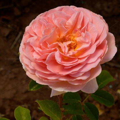 Close-up rose flower, variety Abraham Darby by David Austin Roses.