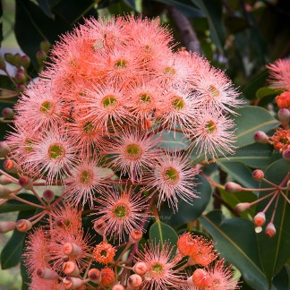 close-up of the flower of Corymbia ficifolia for excitations onliine shop, tubes tock plants