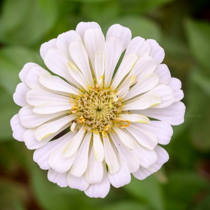 White zinnia flower for Excitations online shop fresh curt flowers