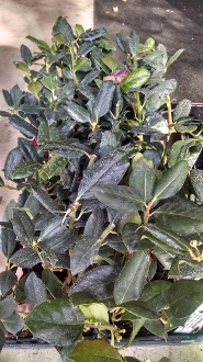 ILEX x 'Nellie Stevens' - Single Plants