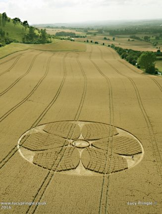 Westbury White Horse, Nr. Bratton, Wiltshire. 4th August 2016. Wheat. c. 170 feet. (52m). Circle containing a six petal flower, with fine tracery work on the petals.