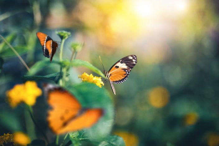 Close-up of orange butterflies in summer garden.