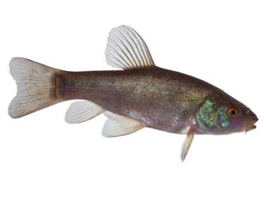 Schleie, Teichfisch, Fische für den Teich