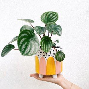 Rio Leggy Planter