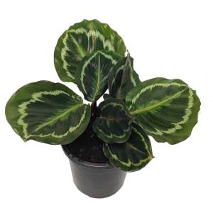 130mm calathea-rosepicta