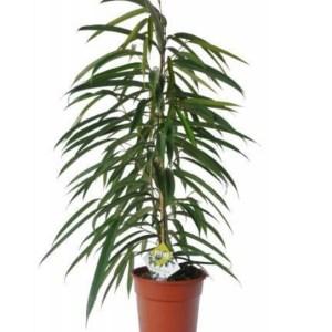 Ficus Alli Petite The Plant Lounge