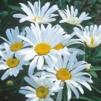Marguerite des prés (Leucanthemum vulgare)