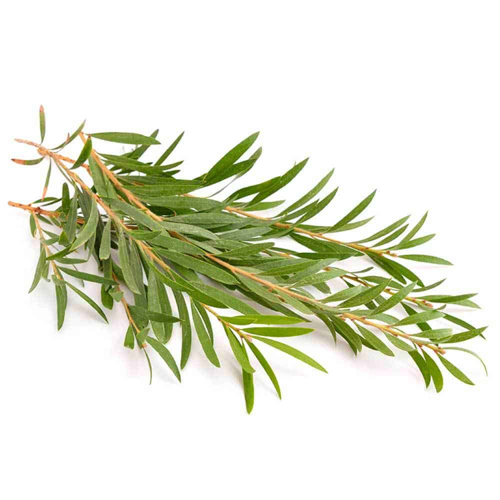 Tea-Tree-Scent