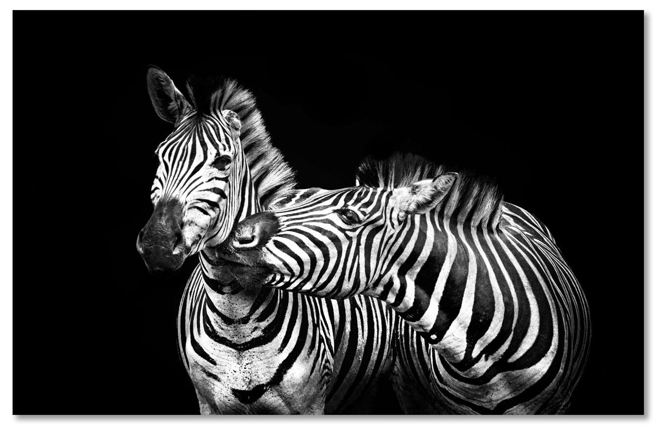 Zebra Black Background