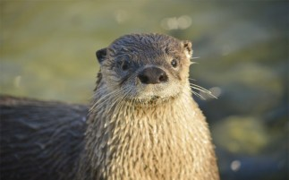 north-american-river-otter-meet