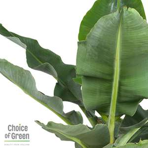 Musa - Bananenplant - in Elho® Greenville pot bruin