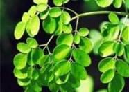 Moringa Extract -Moringa Leaves