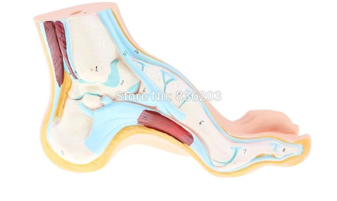 Human traumatism skeleton Arched Foot with Ligaments Bones Muscles anatomy anatomical traumatic medical instruments condoms