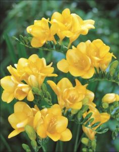Beautiful Yellow Freesias. These are from Hadeco.co.za in New Zealand, but ShoppingGirls Can Find These Popular Flowers Locally.