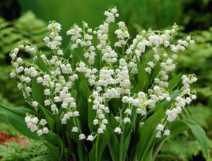 Lilly of the Valley. Photo from WorldOfFlowerPlants.com.