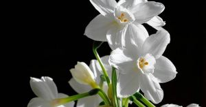 Narcissus Blooms. Photo via Daily Herald.