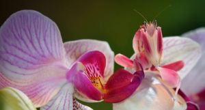 Orchid Mantis. Not always there when you need her. Or maybe she is; it's a little hard to tell. Photo via Ripleys.com.