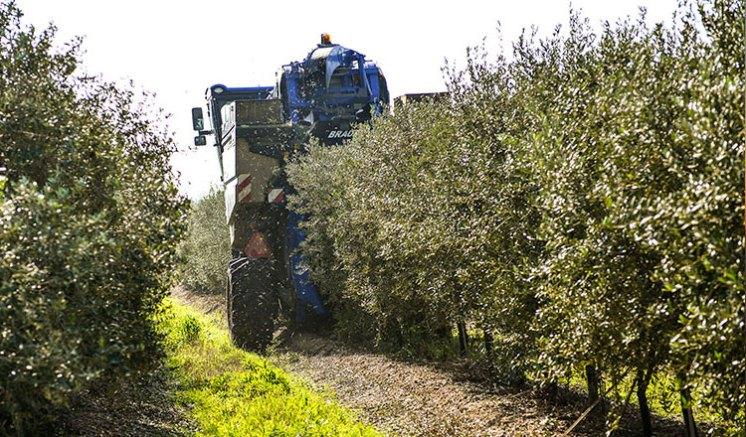 oliveira-da-serra-mostra-como-se-faz-azeite-na-herdade-do-marmelo