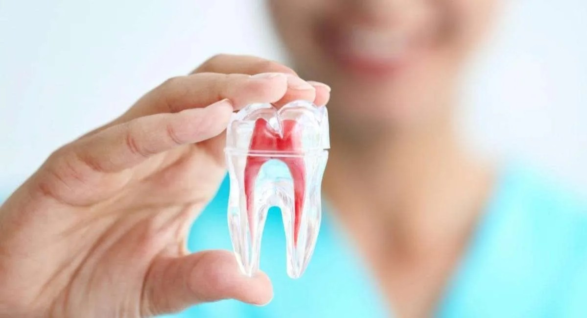 person holding a replica of a tooth