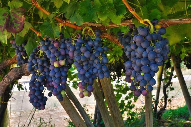 Rượu vang Primitivo là loại rượu vang cứng có màu sáng hơn cả Merlot và Cabernet Sauvignon, nhưng đậm hơn