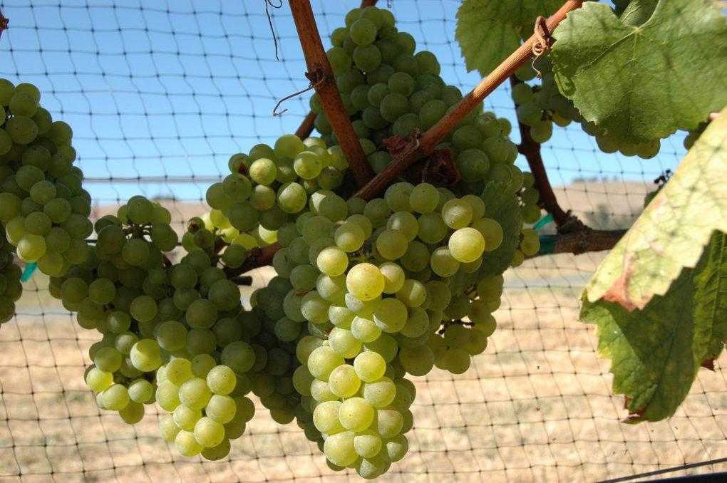 Chardonnays là giống nho được tôn kính nhất thế giới trong các loại nho trắng đến từ Burgundy