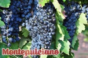 Montepulciano là một loại nho làm rượu vang cổ điển của Ý và là một trong những loại nho được trồng rộng rãi nhất