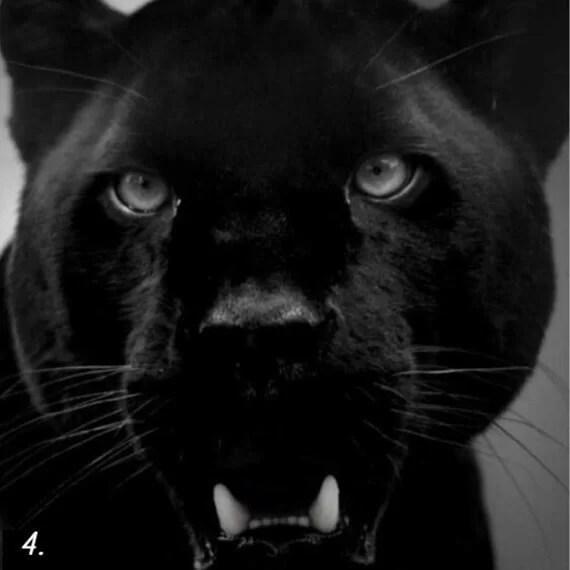 тёмная сторона личности - тест - пантера