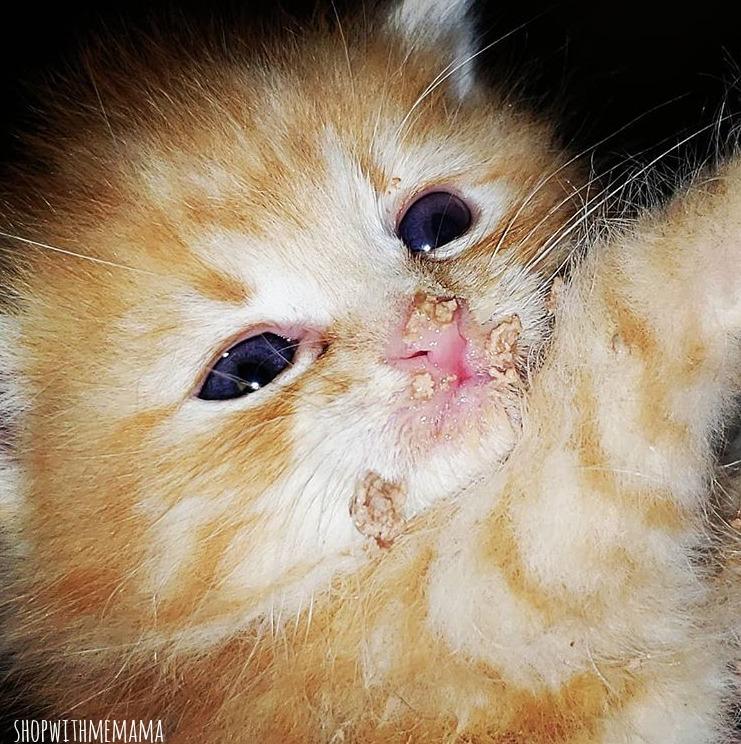 orange baby kitten