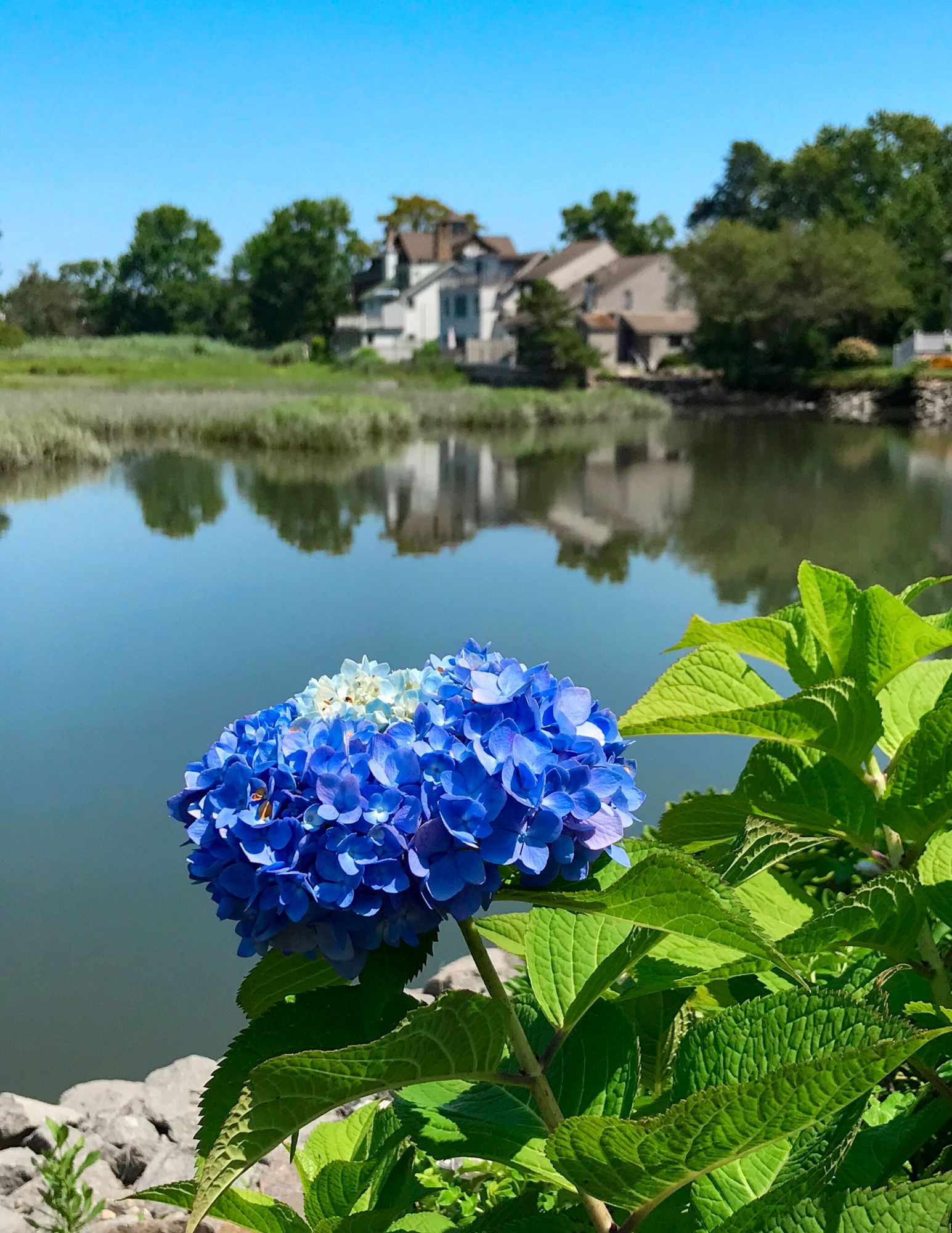 Hydrangea Tips and Tricks-12