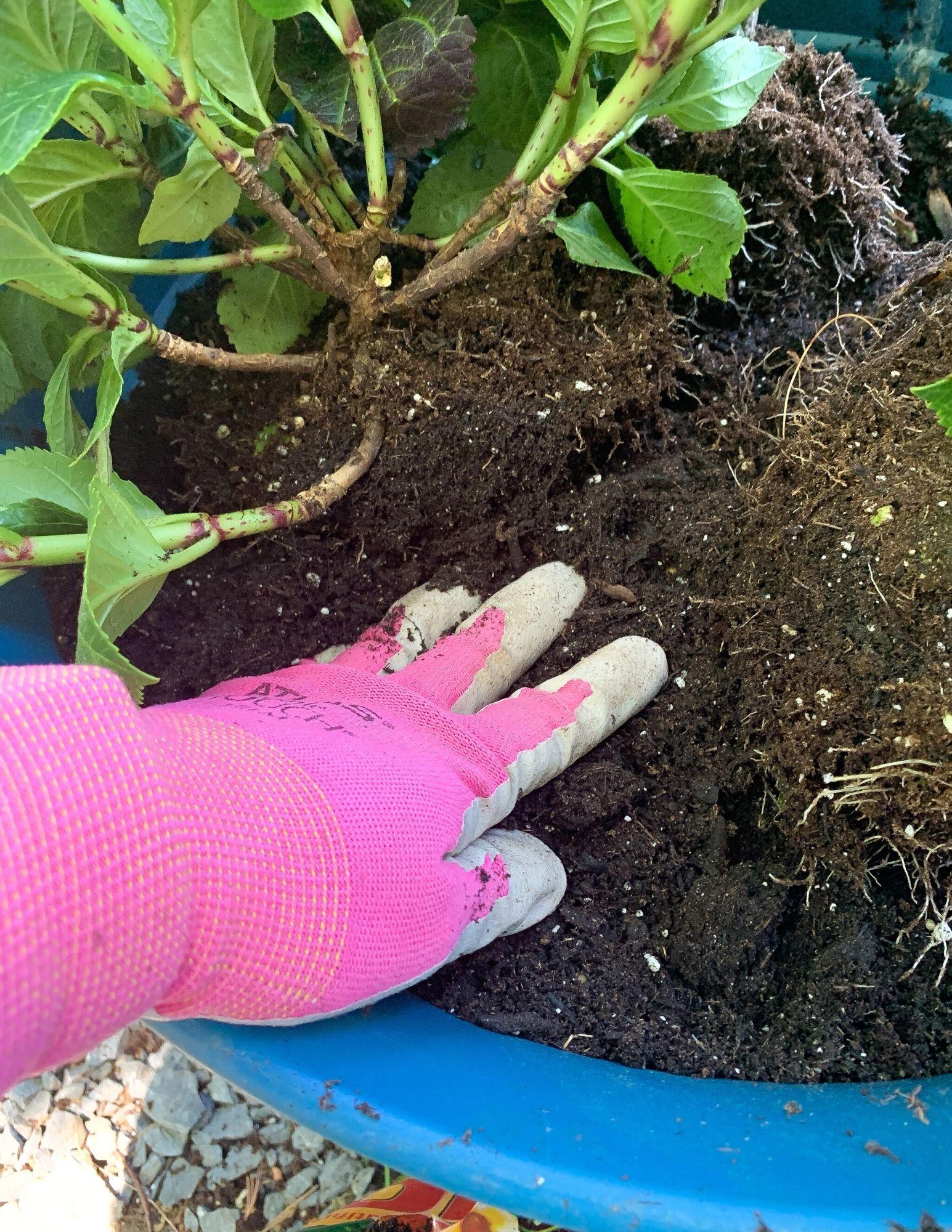 How to Plant Hydrangeas in Pots-20