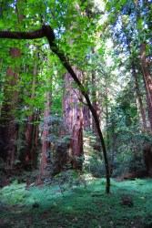 big redwood trees