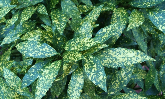 Variegated Gold Dust Plant