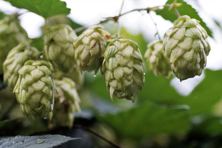 Beer hops on a vine