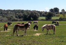 Caballos y ponis S'Hort VellCaballos y ponis S'Hort Vell (vida en manada)