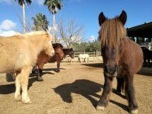 Caballos y ponis S'Hort Vell (paddocks)